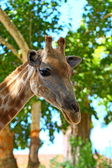 Head of giraffe — Stock Photo