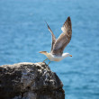 Seagull about to fly off the cliff - Stock Photo