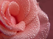 Beautiful Pink Rose in Morning Dew — Stock Photo