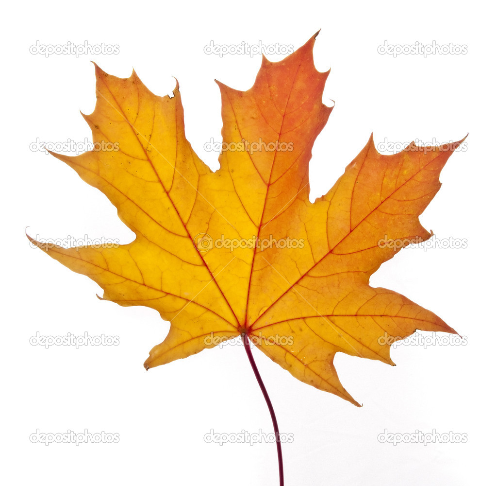 A fallen yellow maple leaf isolated on a white background — Stock Photo #1148798