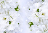Beautiful White Jasmine Flowers — Photo