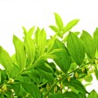 Fresh Green Leaves — Stock Photo #1164438