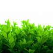 Fresh Green Leaves — Stock Photo #1165783