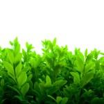 Fresh Green Leaves — Stock Photo #1165783