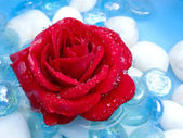 Red Rose with Morning Dew — Stock Photo