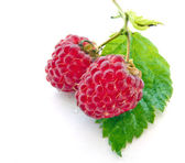 Juicy Raspberries on Green Leaf — Stock Photo