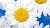 White Chamomile on the Water — Stock Photo