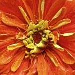 Orange Zinnia — Stock Photo #1550517