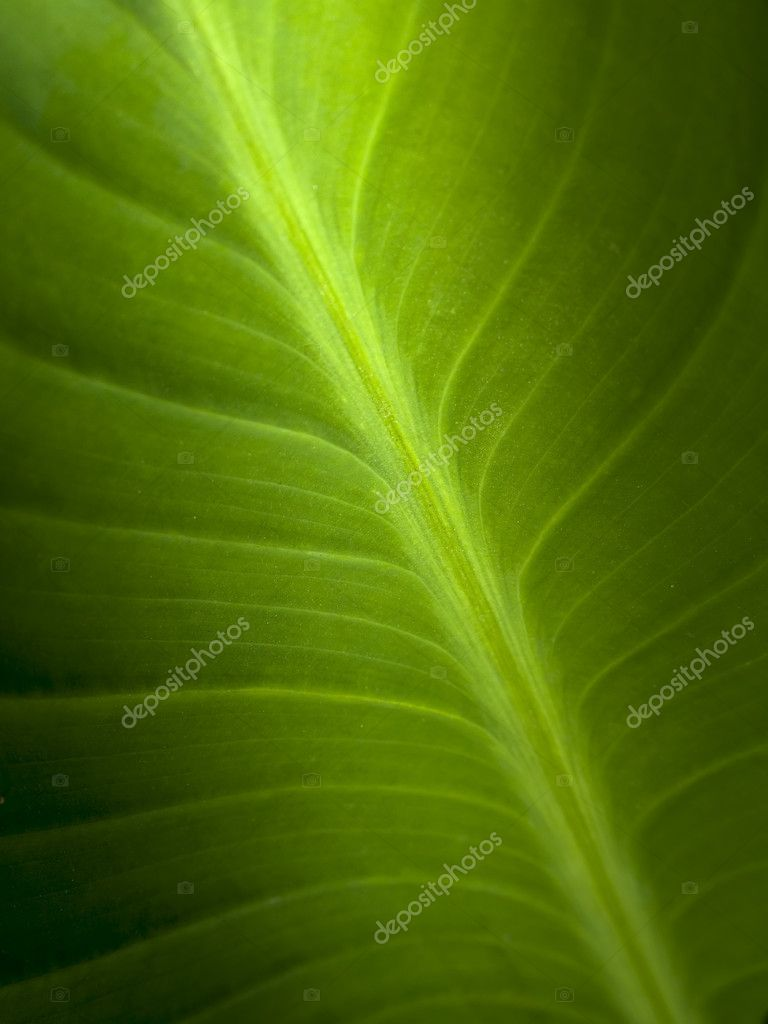 A macro shot of a green ficus leaf — Stock Photo #1566836