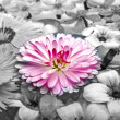 Stock Photo: Pink Marguerite