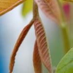 Red nut foliage — Stock Photo #1183625