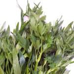 Green parsley — Stock Photo #1184703