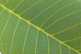 Arboreal green leaf — Stock Photo