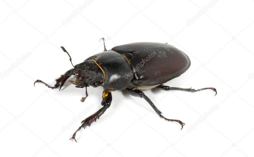 Closeup of common stag beetle female (Lucanus cervus) sits on a white background — Stock Photo #1169966