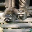 Raccoons — Stock Photo