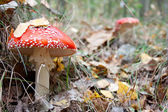 Mushroom a fly-agaric — Stock Photo