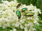 Summer beetle — Stock Photo