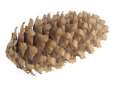 Fir cone — Stock Photo