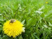 Spring beetle — Stock Photo