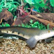 Snakehead - Stock Photo