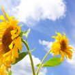 Sunflower and blue summer sky background — Stock Photo #1194849