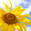 Sunflower and blue summer sky background — Stock Photo