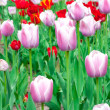 Tulips flowerings - Stock Photo