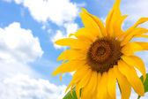 Sunflower and blue summer sky — Stock Photo
