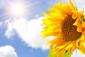 Sunflower, bright sun and blue cloudy sk — Stock Photo