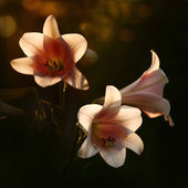 Lilies in sunshine — Stock Photo