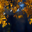 Branch of birch with autumn leaves — Stock Photo