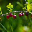 Red gooseberries — Stock Photo #1954986