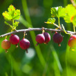 Red gooseberries — Stock Photo #1955025