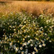 Summer evening landscape with daisies fi — Stock Photo