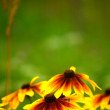 Stock Photo: Orange daisy