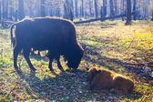 European Bisons — Stock Photo