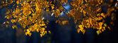 Ramo da bétula com Outono folhas — Fotografia Stock