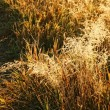 Golden field — Stock Photo #2029365