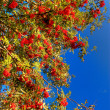 Stock Photo: Sorbus