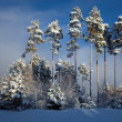 Stock Photo: Row of snowy pine trees