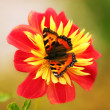 Butterfly on red flower — Stockfoto