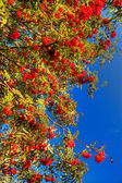 The Sorbus — Stock Photo