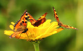 Butterflies on yellow flower — Stock Photo