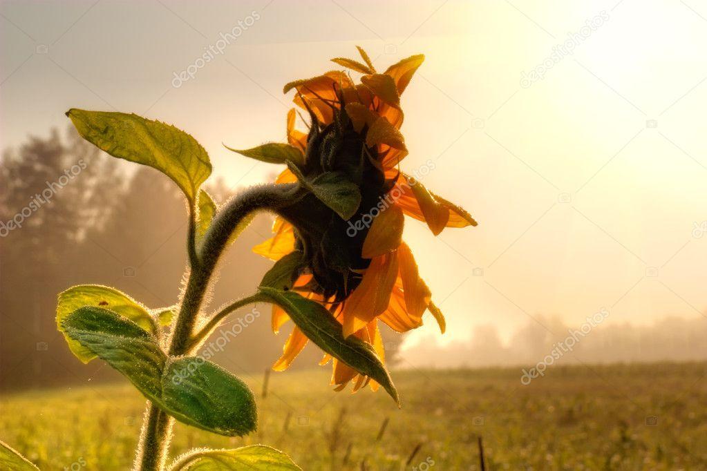 Фотообои Sunflower