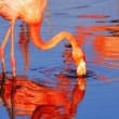 Pink flamingo in sunshine — Stock Photo