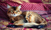 Young somali cat — Foto de Stock
