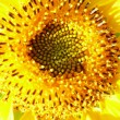 Unusual sunflower — Photo