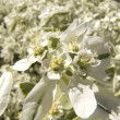 Stock Photo: Gently white flowers