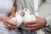 White pigeons is in the hands of newly-w — Stock Photo