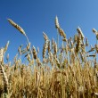 Ears of wheat and sky — Stock Photo